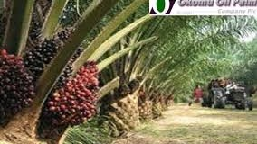 Okomu Oil Palm